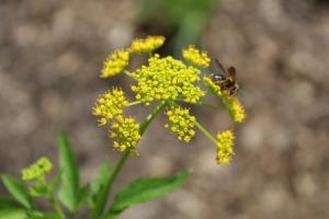 bee on golden alexander flower