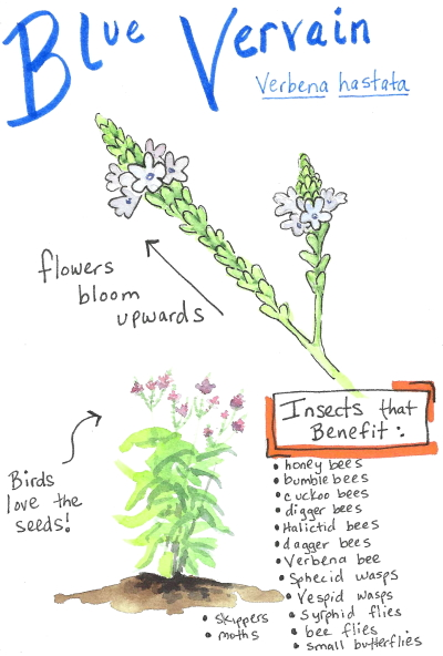 Watercolor sketch of blue vervain native plant