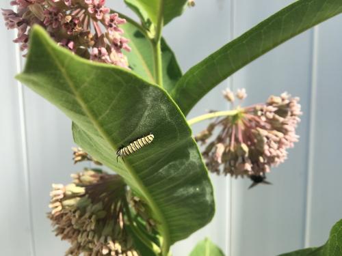photo of monarch caterpillar on milkweed