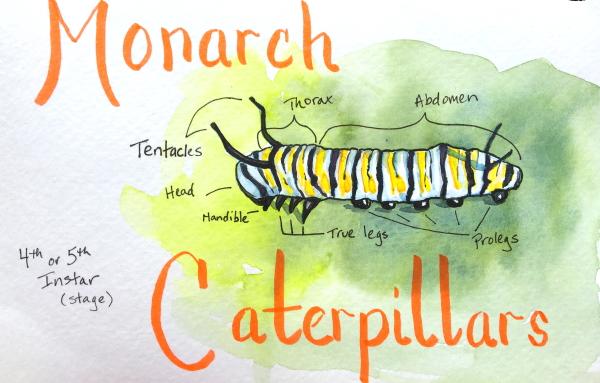 watercolor sketch of monarch caterpillar anatomy